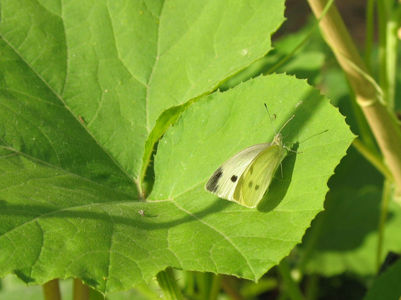 cabbage_white_butterfly.jpg