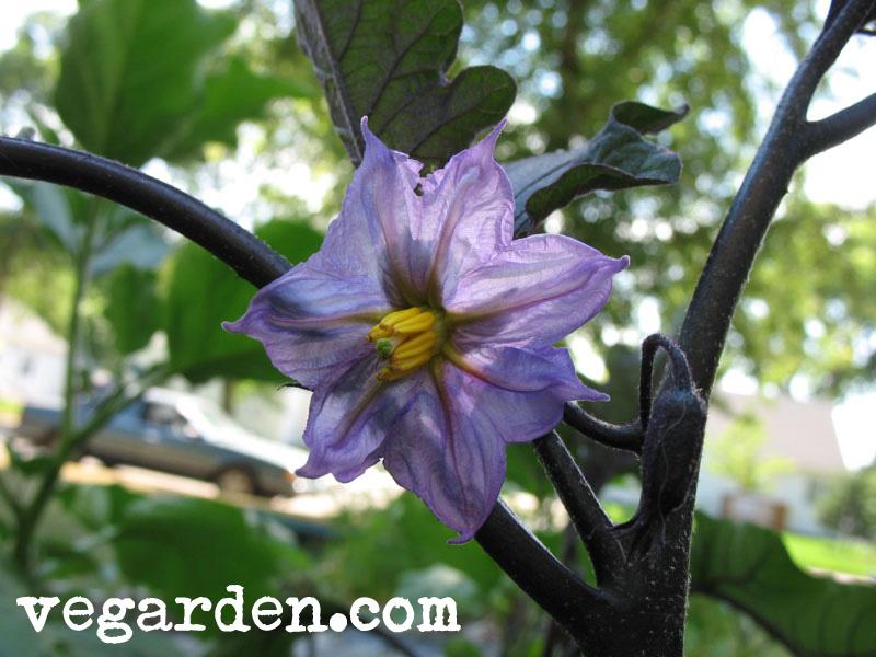 Фото цветок баклажана