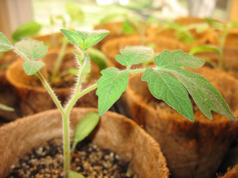 Mikado White Tomato Seedling