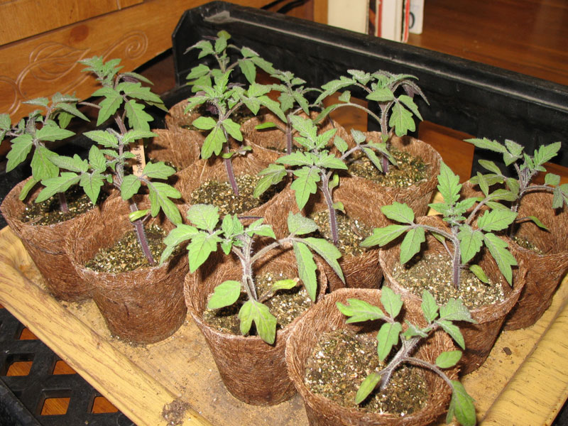 Pineapple Bi-Color Tomato Seedlings