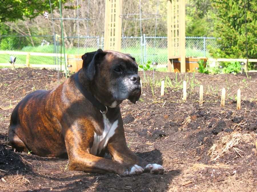 Puck Loves Gardening