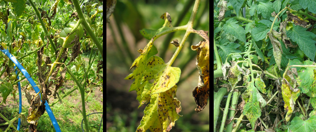 Early tomato blight