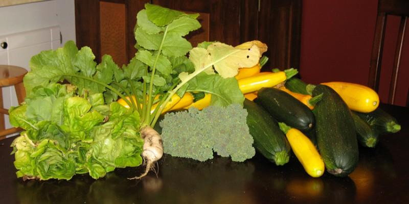 Lettuce, Broccoli, Summer Squash, and a Turnip