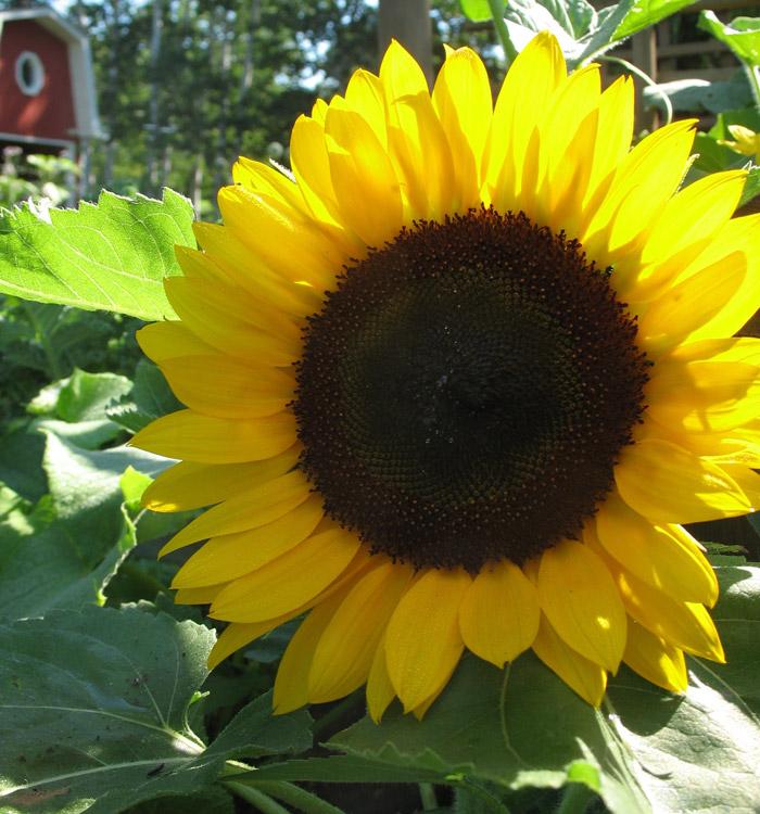 """Sunny Smile"" F1 Hybrid Dwarf Sunflower"