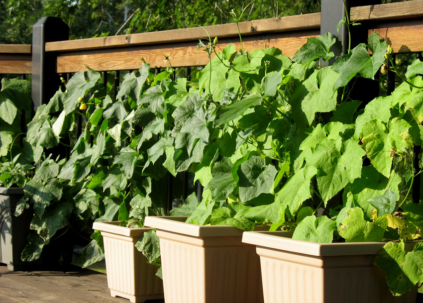 Luffa vines on the deck (two plants per pot)
