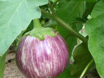 Pink Eggplant