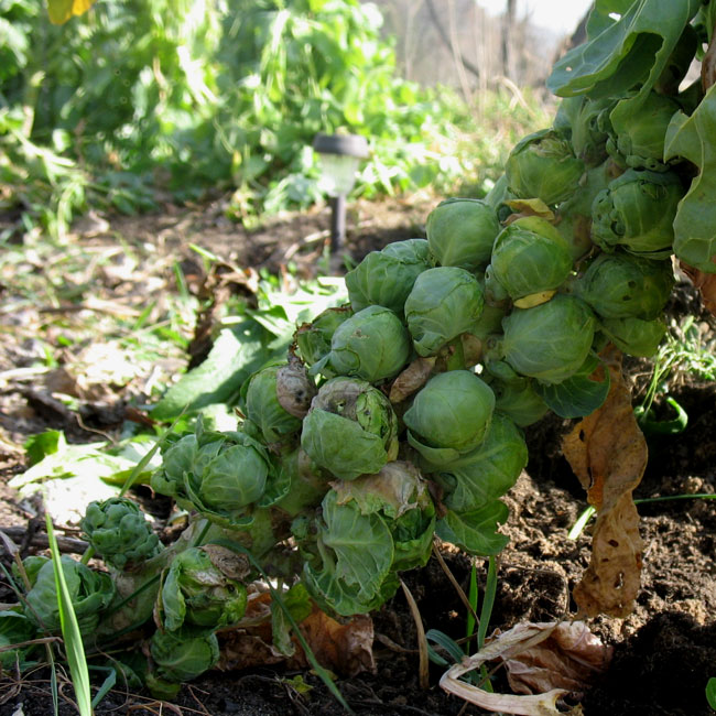 Brussels Sprouts - November 8th