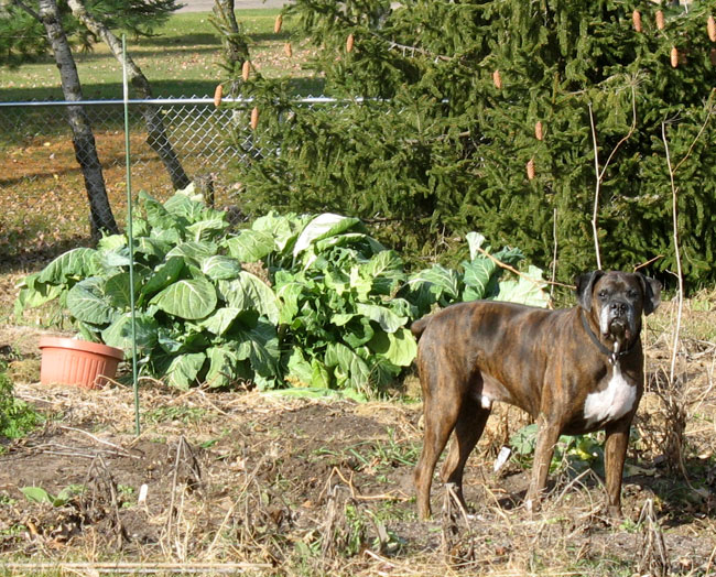 Collard Greens (and Puck, of course!)
