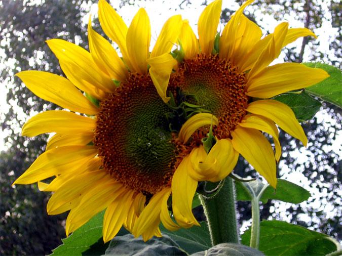 Two-headed Sunflower (Skyscraper)