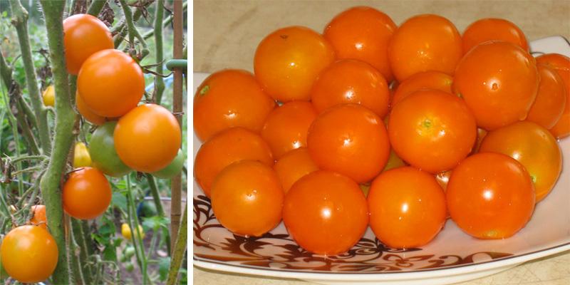 Prize of the Trials Cherry Tomato
