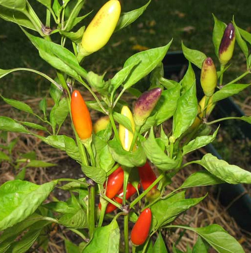 Purira Hot Chile Peppers