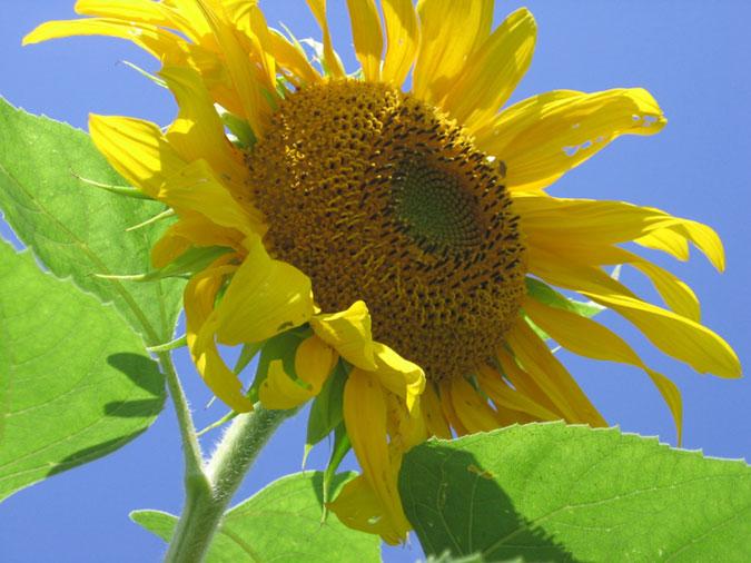Mammoth Gray Sunflower