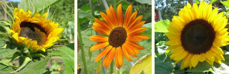 2010 Sunflowers