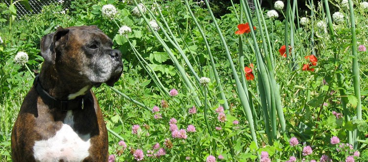 Puck in the garden, with Onions and Poppies