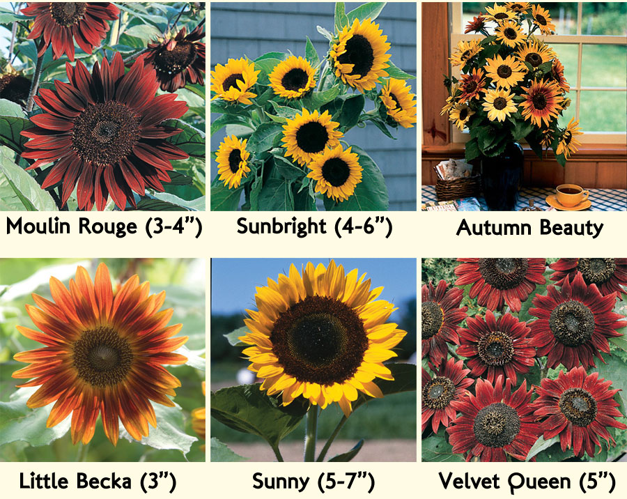Sunflowers from Johnny's Selected Seeds, possible candidates for our fall wedding flowers