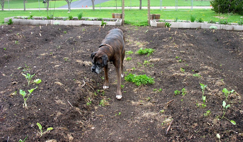 Puck's checking out the garden.  He stays in the paths (mostly)