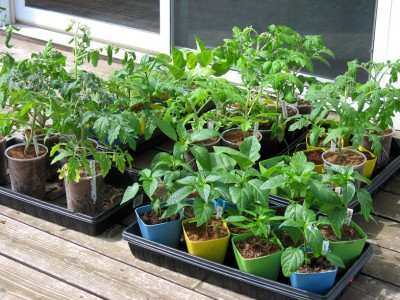 Tomatoes, Peppers, Eggplant, and Leeks