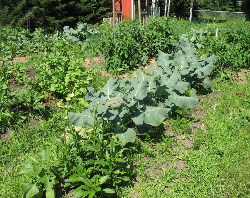 June 28th - Broccoli