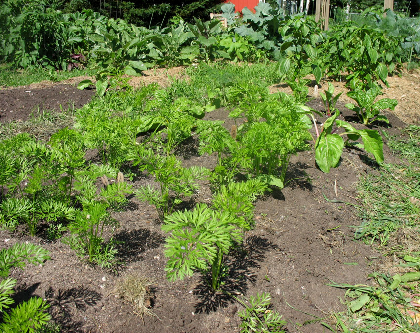 June 28th - Carrots and Chard