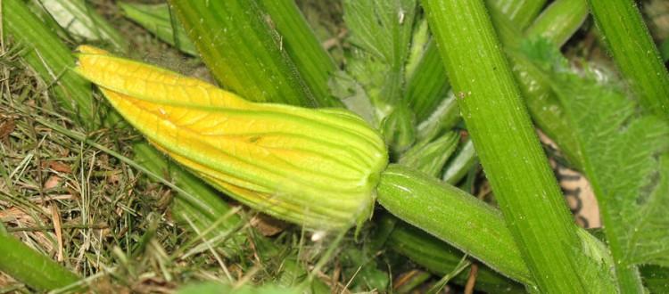 Elite Zucchini (green)
