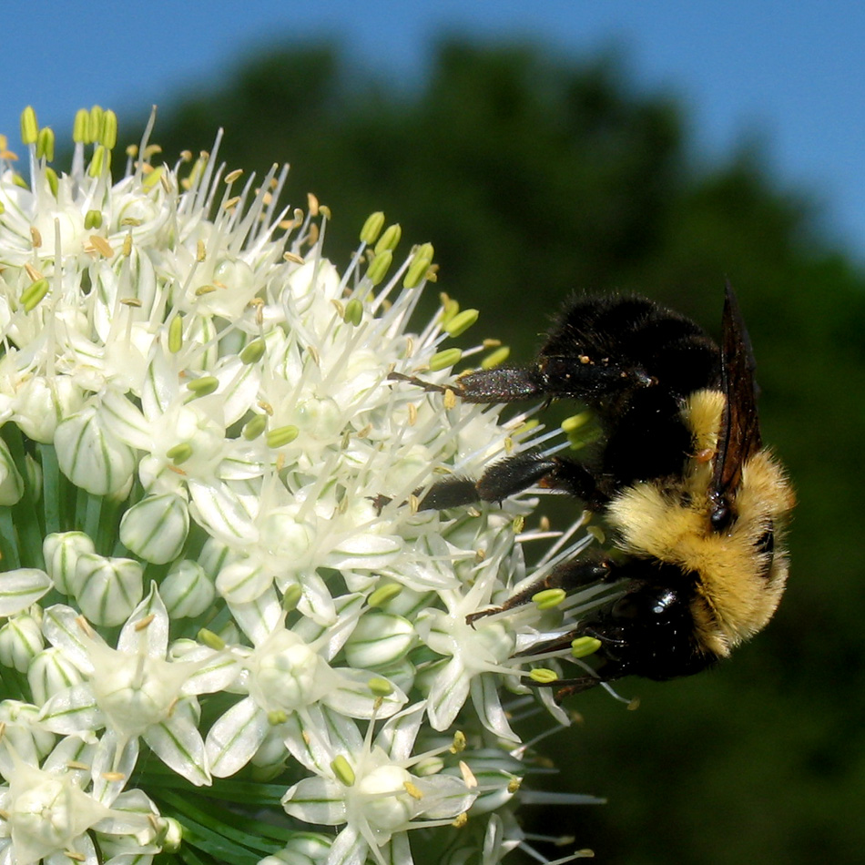 Bumble bee on a flowering onion