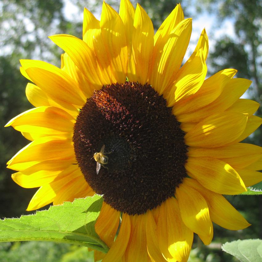 """Sunny"" Sunflower"