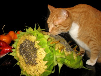 Niko and one of our volunteer sunflowers