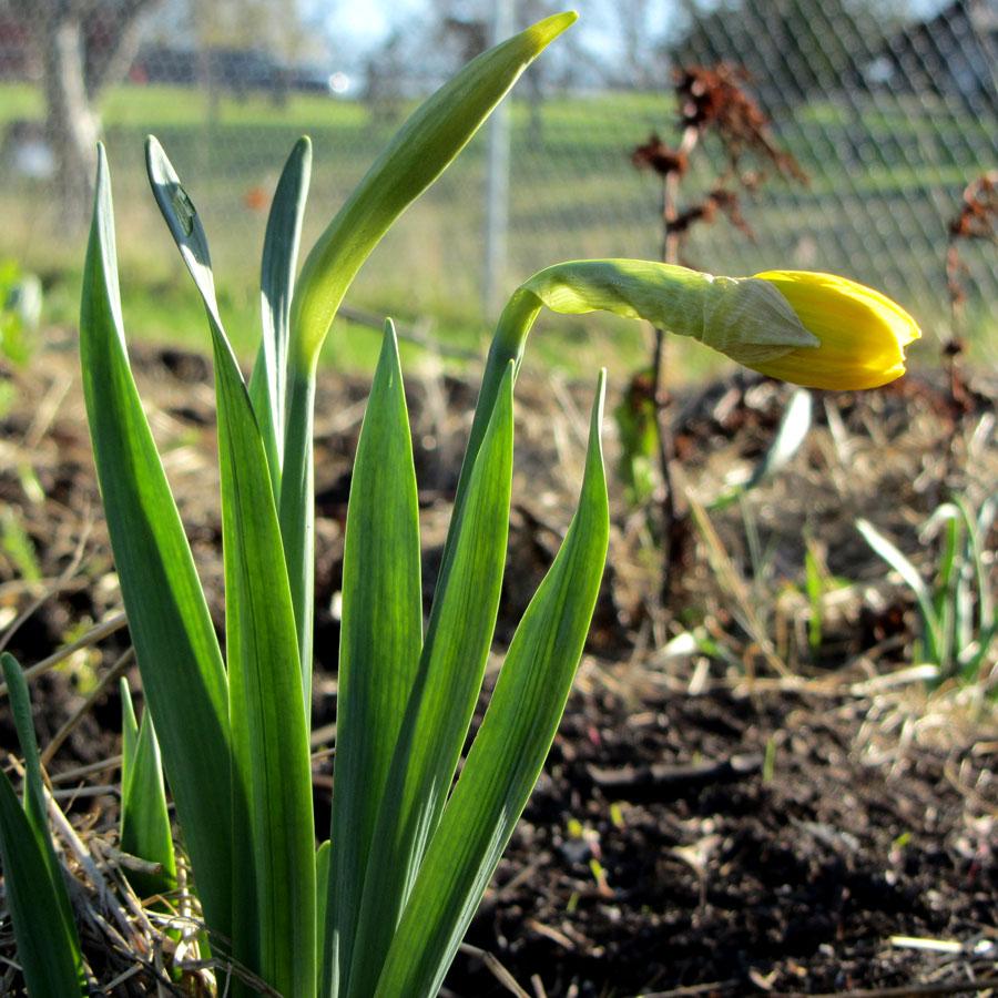 Minnesota Daffodil, March 28th