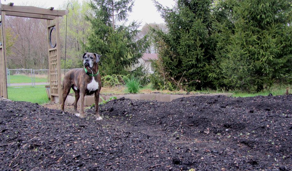 Puck watching the garden grow
