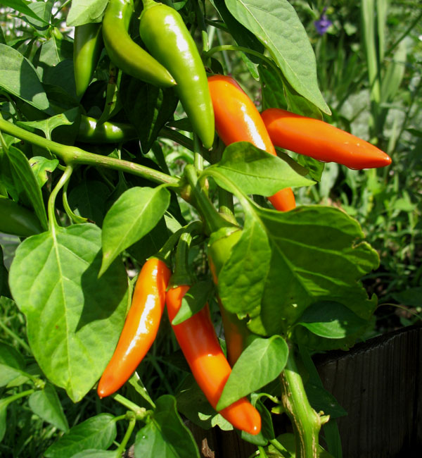 Hungarian Carrot Peppers