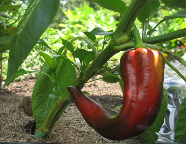 Red Marconi Pepper