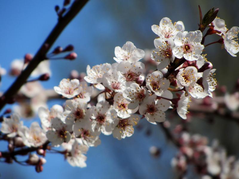 Nichols Plum Tree Flowers