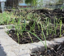 Onions (from seed!)