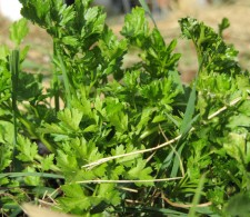 Flat-Leaf Parsley