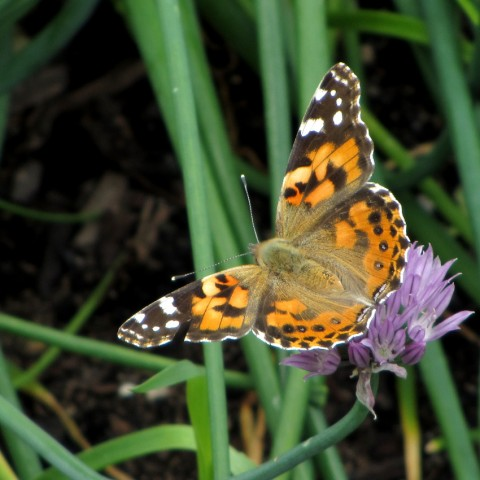 Butterfly on a chive flower