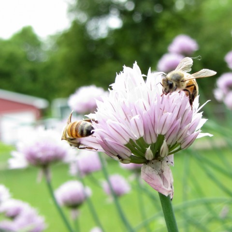 Honeybees on a chive flower
