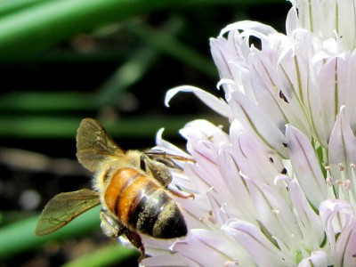 Honeybee on a chive flower