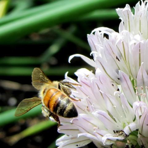 Honeybee on a chive flower