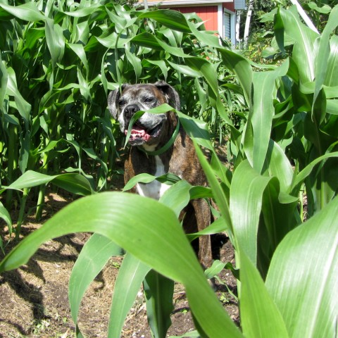 Puck checking out the Sweet Corn
