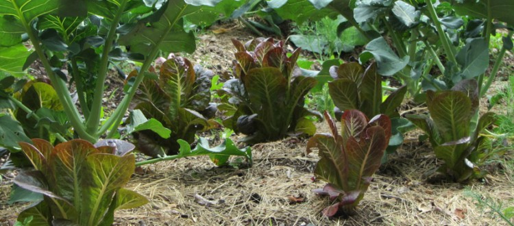 Red Romaine Lettuce shaded by cole crops