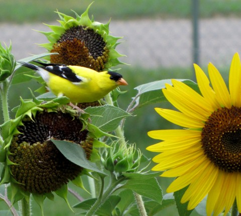 Goldfinch on our sunflowers