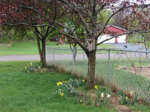 Green grass and daffodils, April 19, 2012.