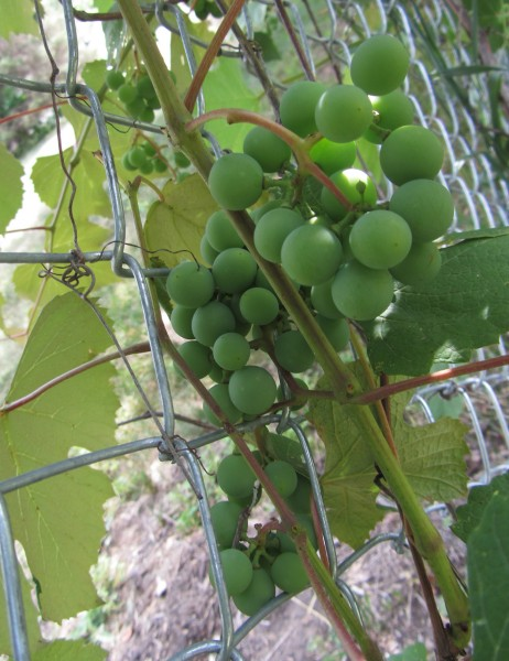 Grapes growing on the fence