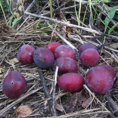 Nichols Plum Fruit Dropped