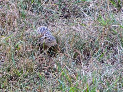 thirteen striped gopher