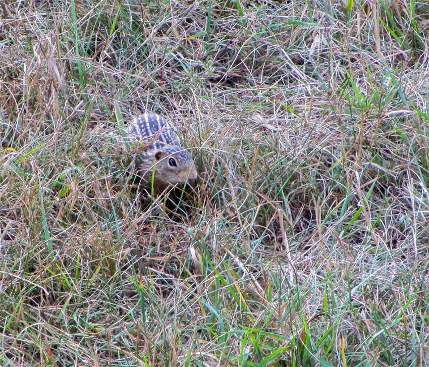 Gopher In Backyard: Thirteen Striped Gopher