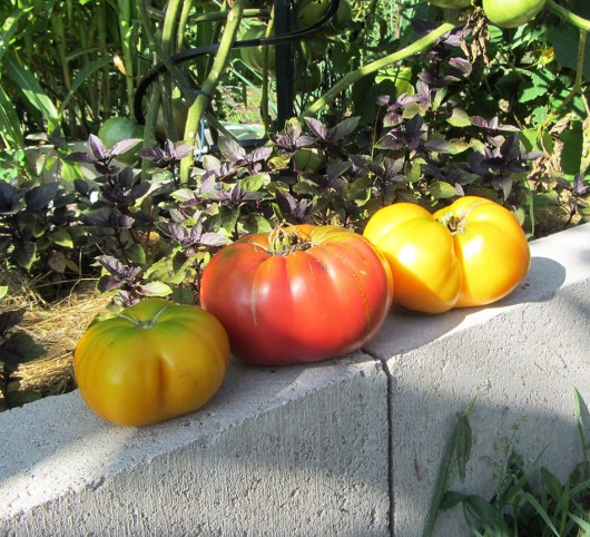 Marvel Striped Tomato, Prudens Purple Tomato, Amana Orange Tomato