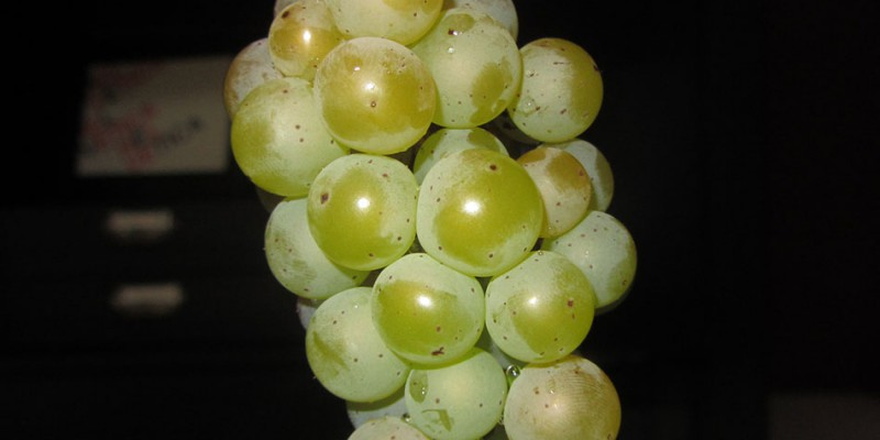 Somerset Seedless Grapes