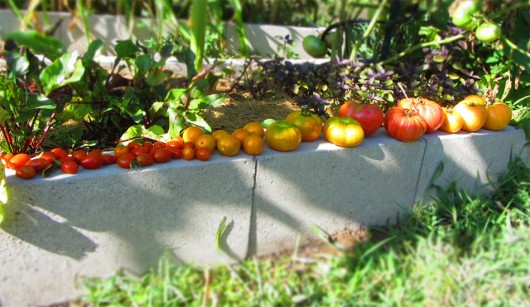 Tomato lineup: Grape, Prize of the Trials, Marvel Striped, Prudens Purple, Amana