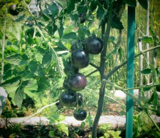 """Indigo Rose"" black tomatoes"